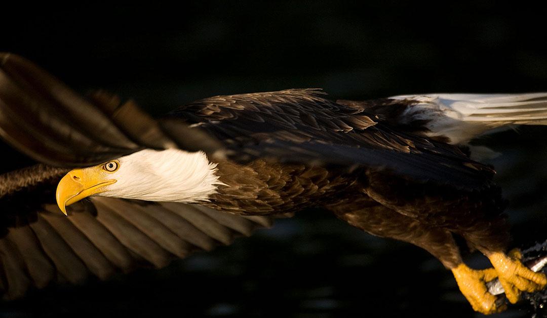 Tofino Local, Tofino Eagle, GoTofino.Com