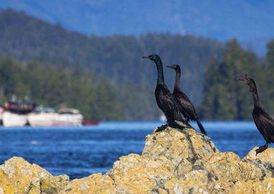 cormorants20141026-IMG_8590
