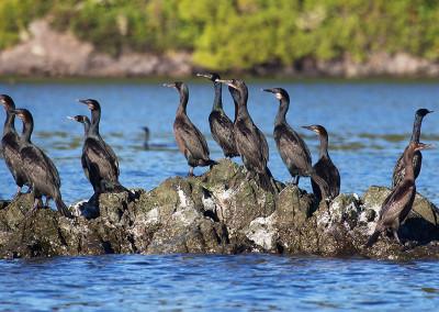 cormorants20141110-IMG_9748
