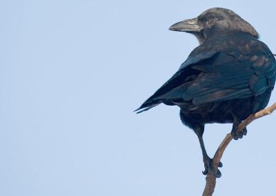 Community Crows