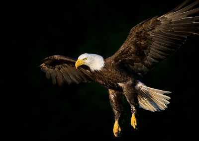 Soaring Tofino Eagles