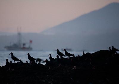 oystercatchers20140123-IMG_3256