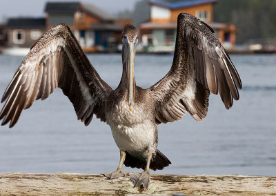 pelicans201211291074