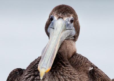 pelicans201211291110