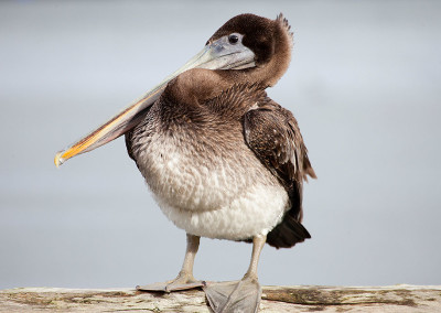 Tuffy the Pelican