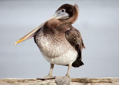 pelicans201211291116
