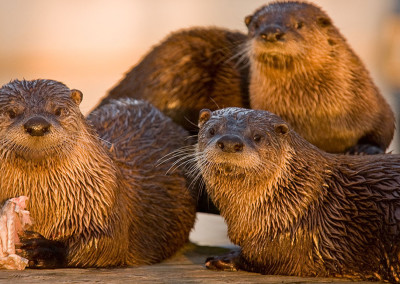 Playful River Otters