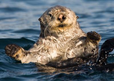 Hey there. Sea Otters, Tofino, BC