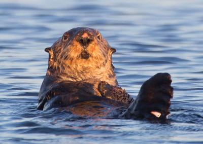 Hiya. Sea Otters, Tofino, BC