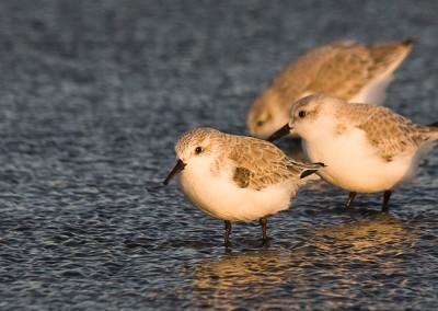 shorebirds20111127-IMG_7572