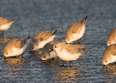 shorebirds20111127-IMG_7583