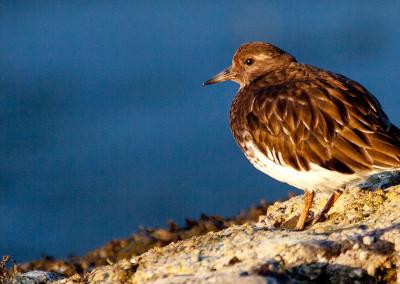 shorebirds20130308-IMG_7025