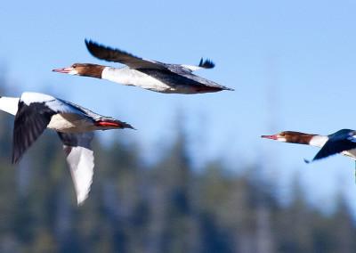 shorebirds20130331-IMG_8873