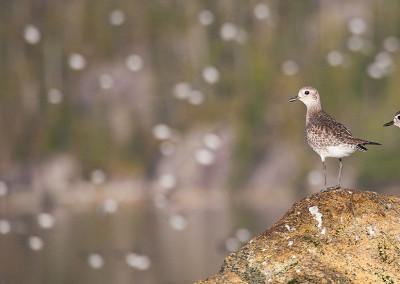 shorebirds20140123-IMG_3067