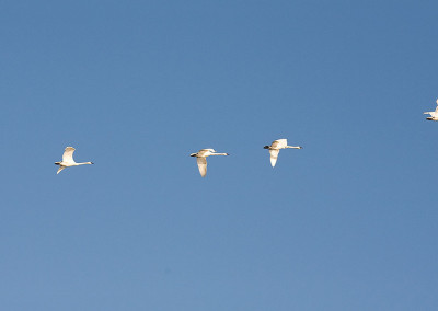 swans20111115-IMG_5743