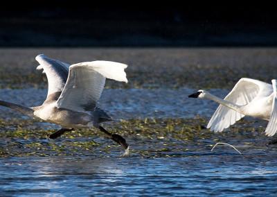 swans20120118-IMG_3962