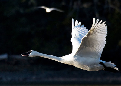 Fairy Tale Swans