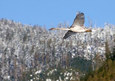 swans20130110-IMG_2043