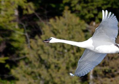 swans20130121-IMG_3805