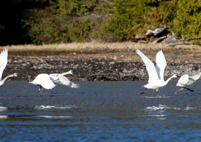 swans20130121-IMG_3822