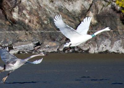 swans20130121-IMG_3830