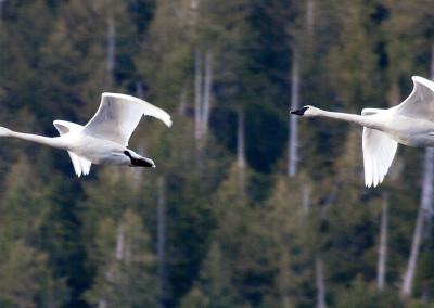 swans20130202-IMG_4443