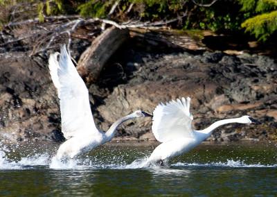swans20130318-IMG_7356