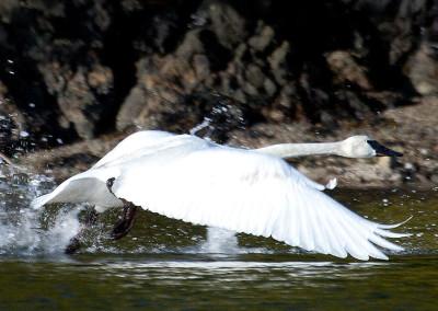 swans20130318-IMG_7363