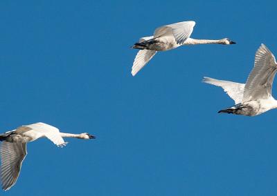 swans20140124-IMG_3432