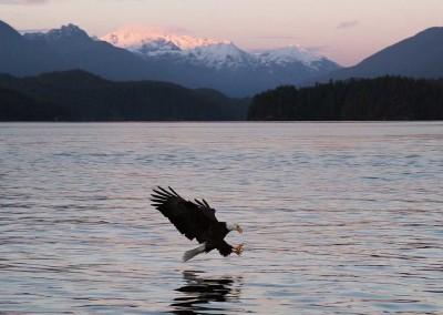 Tofino Winter Eagle, Tofino Winter Wildlife