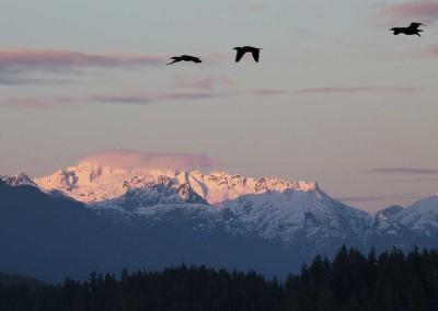Tofino Winter Herons, Tofino Winter Wildlife