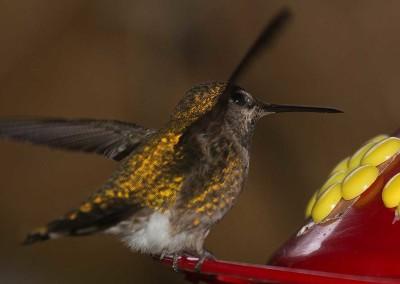 Tofino Winter Hummingbird, Tofino Winter Wildlife