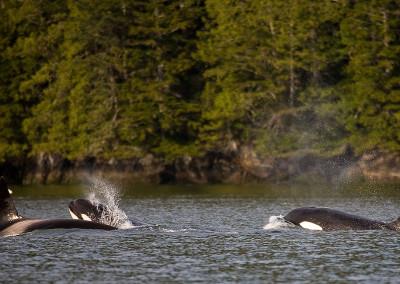whalesorcas20110604-IMG_5292