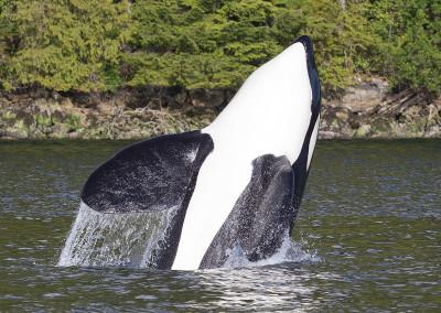 whalesorcas20140610-IMG_6903