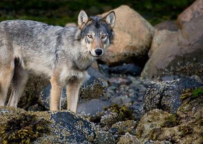 wolves20110801-IMG_2896