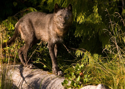 wolves20110904-IMG_6724