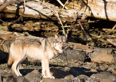 wolves20120115-IMG_3337