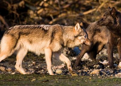 wolves20120516-20120205-IMG_6182