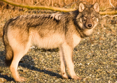 wolves20120531-IMG_6220